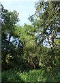SE2741 : Pines, Golden Acre Park by Stephen Craven