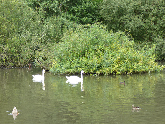 Swans on the lake in Golden Acre Park