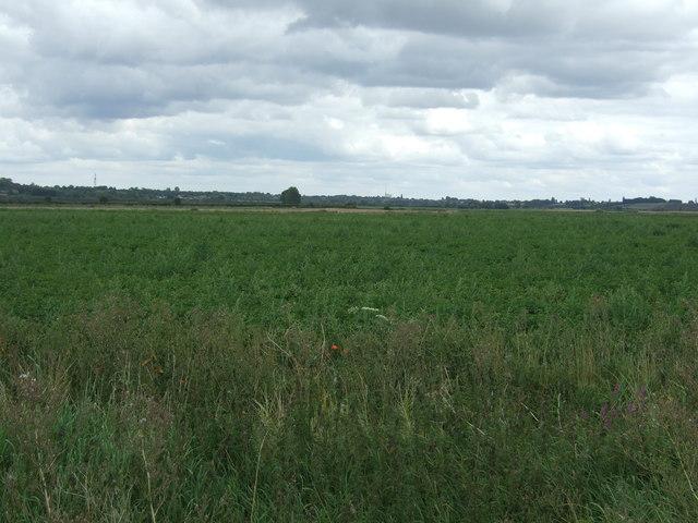 Crop field near Willow Farm