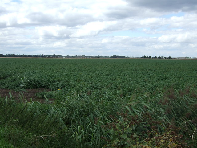 Potato crop near Cracknell Farm