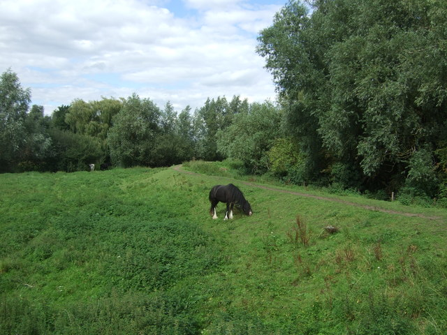 Grazing near the River Great Ouse