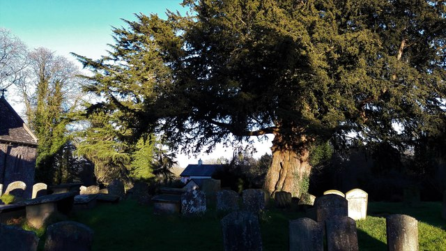 Churchyard yew at St Mary Magdalene, Hewelsfield