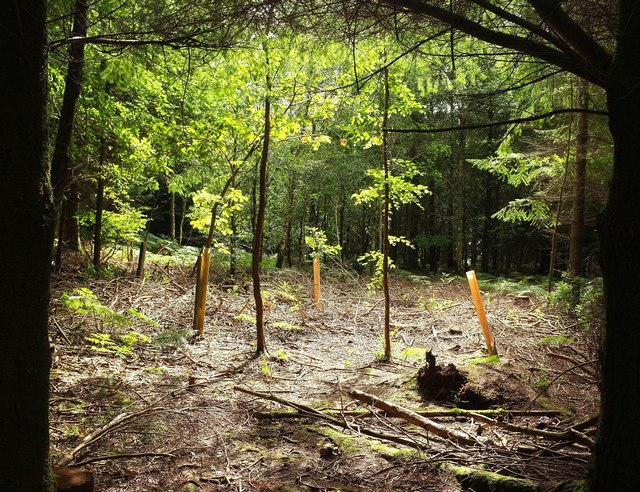 Young trees in clearing, Haldon Forest