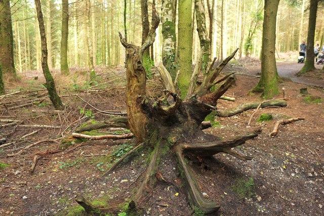 Old tree base, Haldon