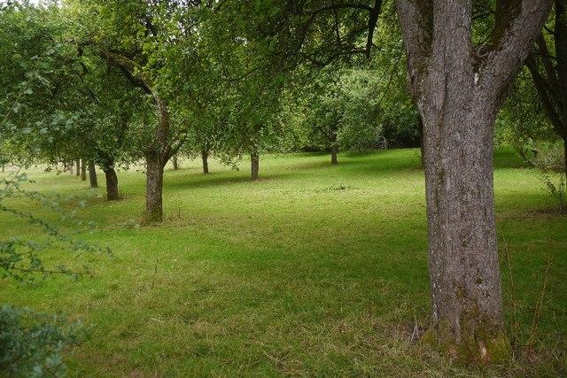 Orchard near Bodenham