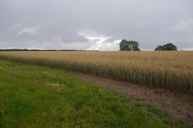 Oats near Marsh Court