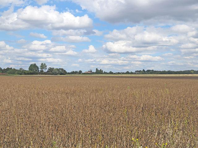 Field beans and Little Wilbraham windmill
