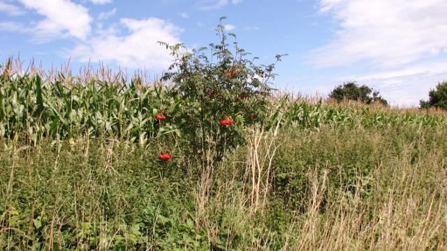Small rowan tree on the edge of a maize crop field