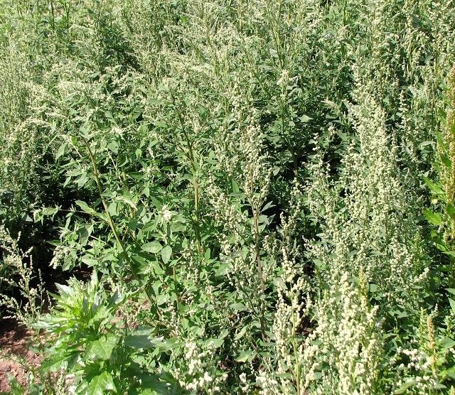 Weeds mainly of the genus Chenopodium