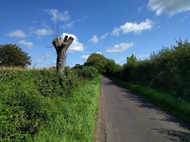 Distinctive dead tree on the lane to Ashcott