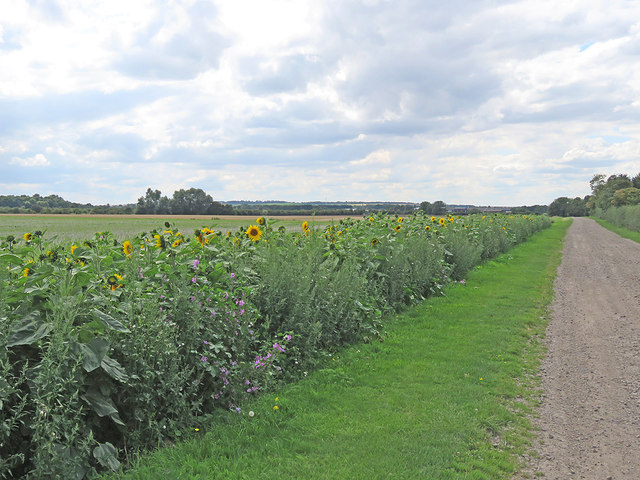 Little Wilbraham: field-edge sunflowers