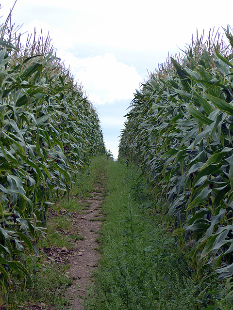 Walking through the corn