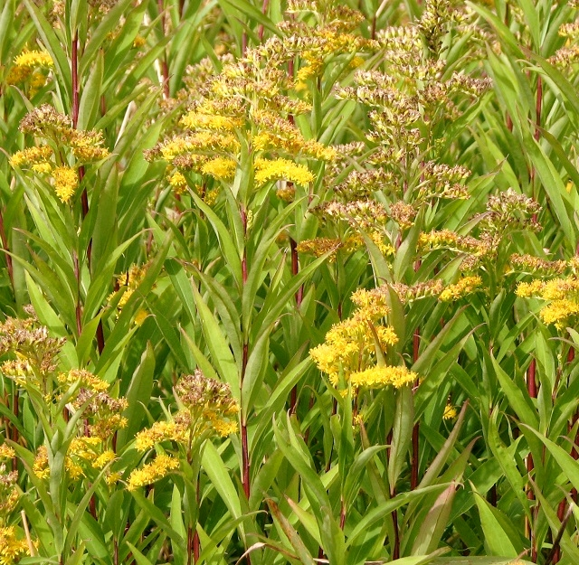 Early goldenrod (Solidago gigantea)