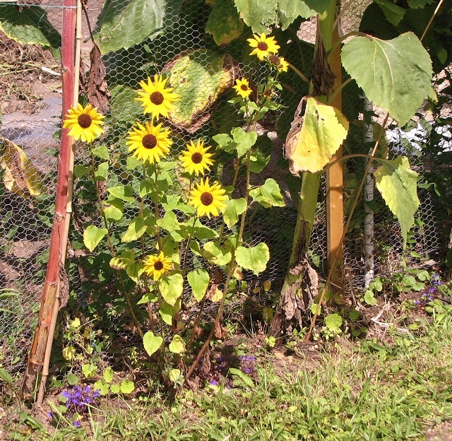 Small sunflowers (Helianthus sp)