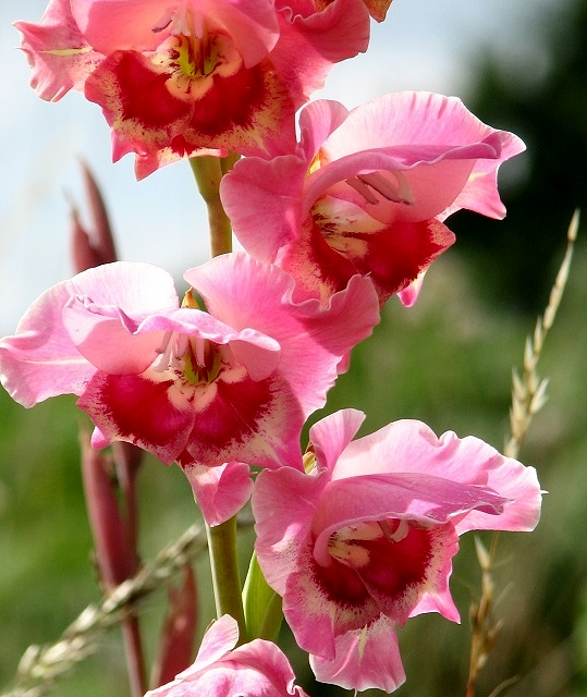 Gladiola (Gladiolus sp)