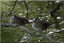 TQ1672 : Mandarin Ducks (Aix galericulata) on the Thames at Eel Pie Island by Mike Pennington
