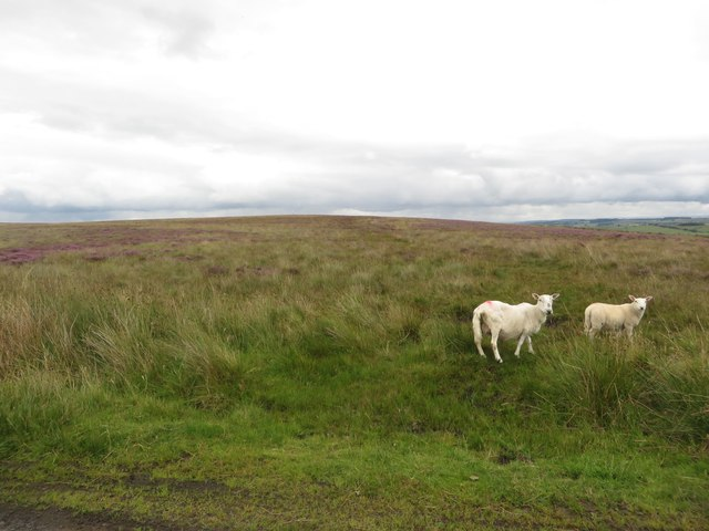 Sheep on Ealinghamrigg Common