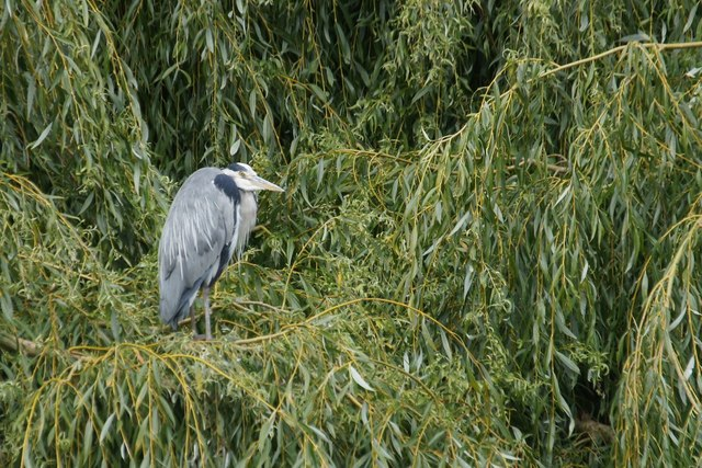 Grey Heron (Ardea cinerea) from Ham Street car park