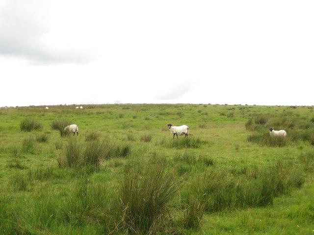 Sheep grazing near West Highridge
