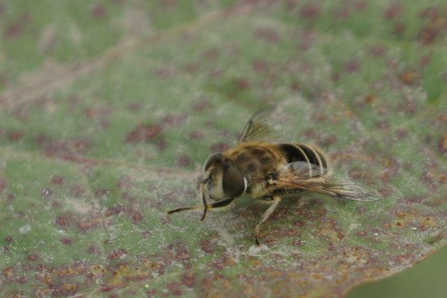 The hoverfly Eristalis arbustorum, Ham Street car park