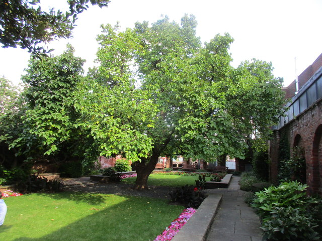 Mulberry tree in the garden of Wilberforce House