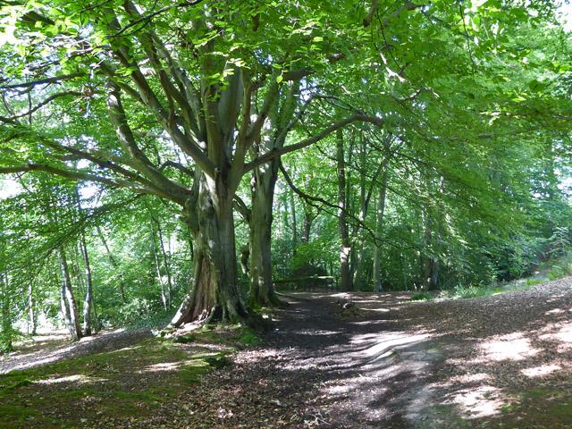 Path under beech trees