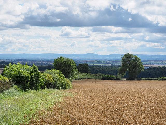 Edge of wheat field below Merrington Road