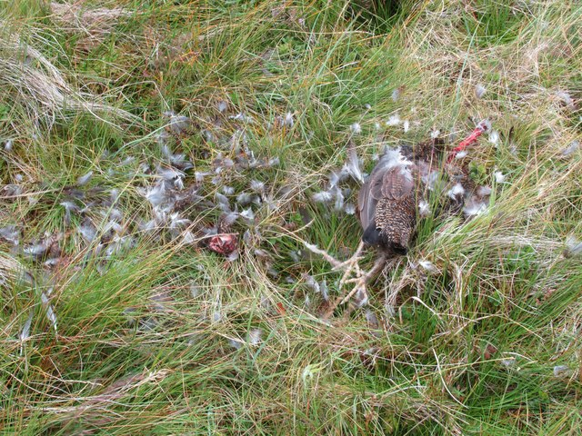 Grouse dispatched by eagle near Bynack Burn