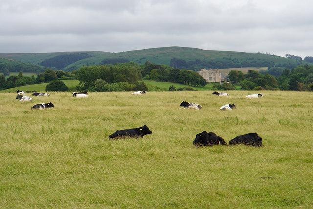 Cattle near Kilve