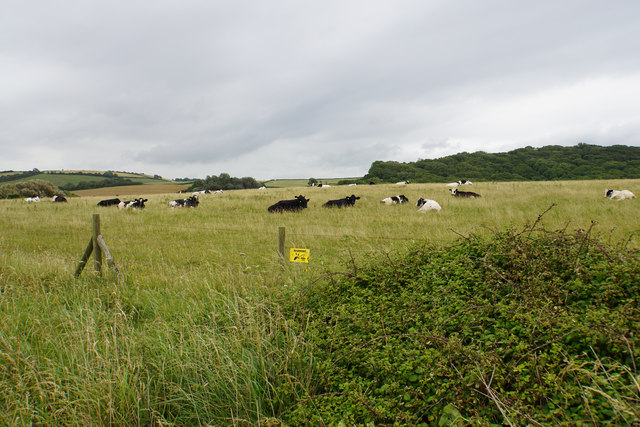 Cattle near Quantock's Head