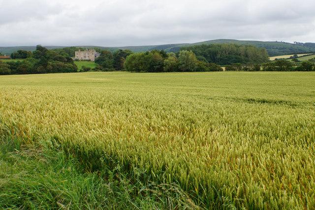Wheat field near East Quantoxhead