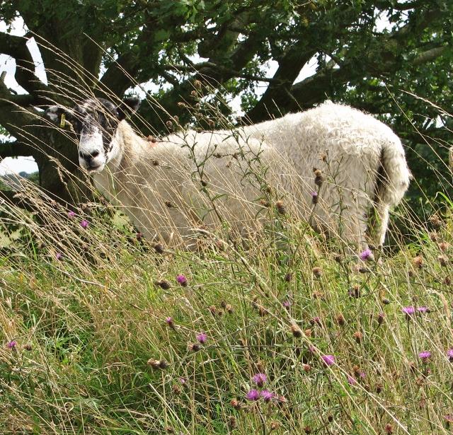Mule sheep grazing at Venta Icenorum