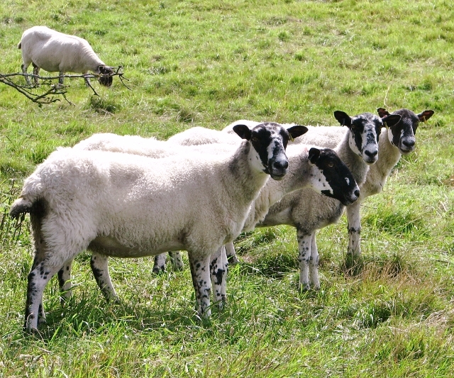 Mule sheep at Venta Icenorum