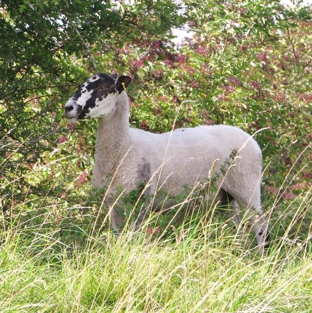 Mule sheep seeking some shade