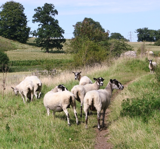 Mule sheep on the remains of the west wall at Venta Icenorum