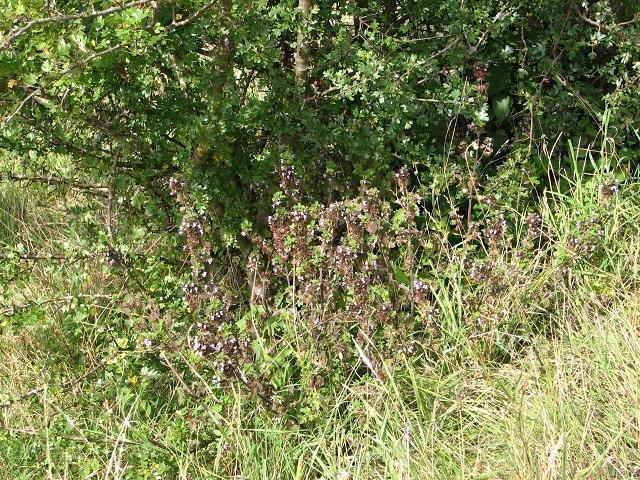 A stand of Black horehound (Ballota nigra)