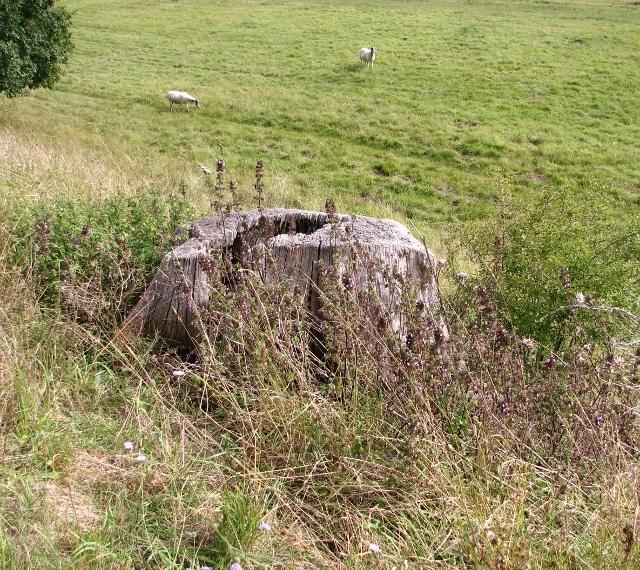 Sheep grazing below the south wall of Venta Icenorum