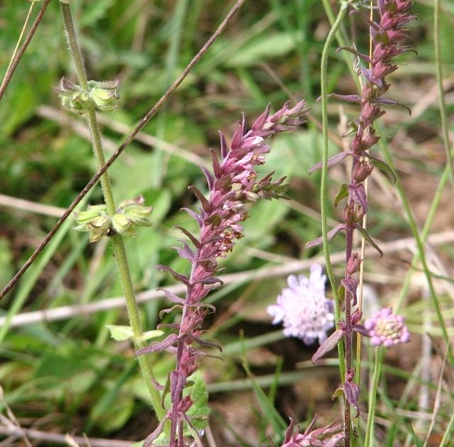 Red Bartsia (Odontites vernus) - flowers