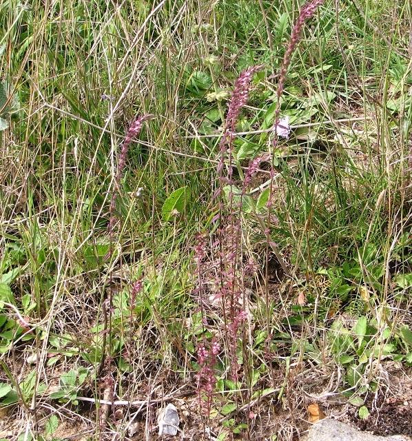 Red Bartsia (Odontites vernus)