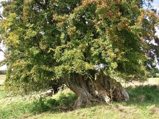 Ancient hawthorn  (Crataegus monogyna)