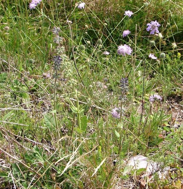 Meadow clary (Salvia pratensis) and Small scabious