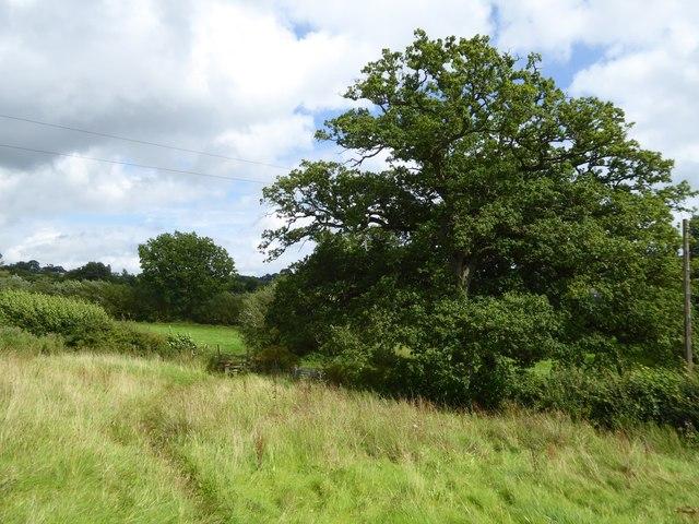 Oak by a stile at Underleigh Farm
