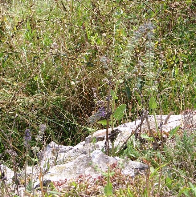 Meadow clary (Salvia pratensis)