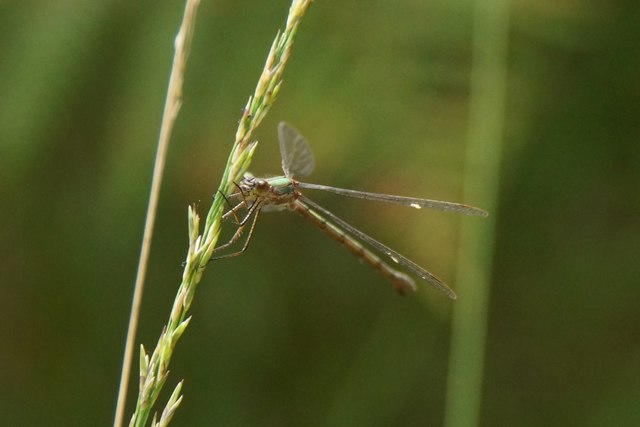 Common Emerald Damselfly (Lestes sponsa), Thursley Common