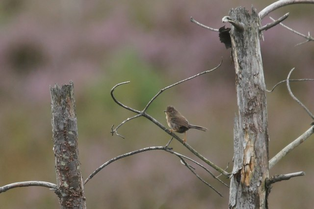 Dartford Warbler (Sylvia undata), Thursley Common