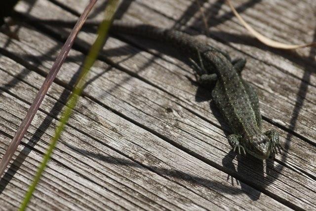 Common Lizard (Zootoca vivipara), Thursley Common