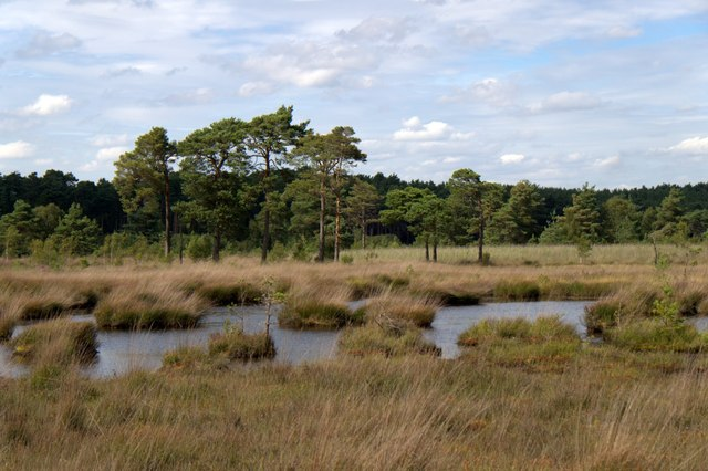 The bog on Thursley Common