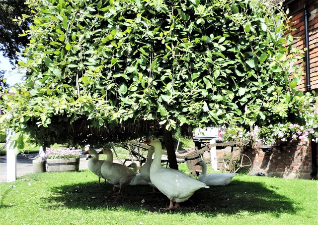 Geese in the shade, Sedlescombe Green