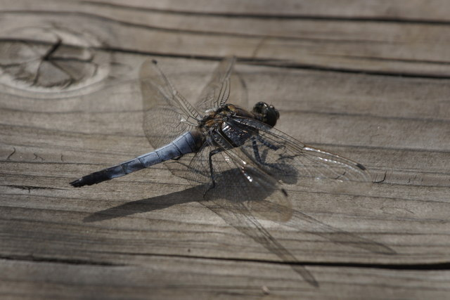 Black-tailed Skimmer (Orthetrum cancellatum), Thursley Common