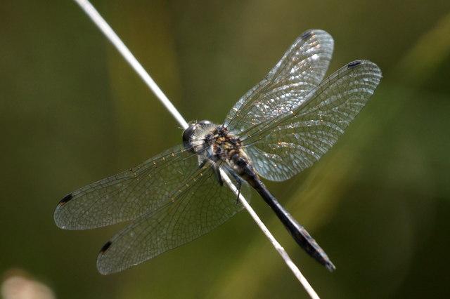 Black Darter (Sympetrum danae), Thursley Common